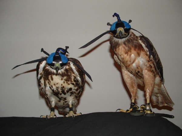 A pair of Red-Tail Hawks in Larry Ray hoods
